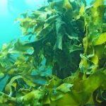 海藻の種類や栄養、ネバネバ食品アカモク?